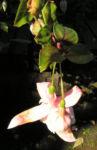 Fuchsie Hybride Bluete weiss Fuchsia 03