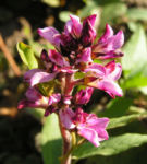Gaensedistelblaettrige Francoa Bluete pink Francoa sonchifolia 05