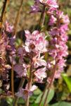 Gaensedistelblaettrige Francoa Bluete pink Francoa sonchifolia 08