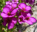 Gaensekresse Bluete lila Arabis caucasica 01