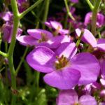 Gaensekresse Bluete lila Arabis caucasica 04