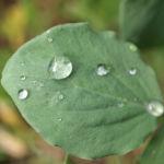 Garten Erbse Speiseerbse Blatt graun Bluete weiss Pisum sativum 04