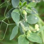 Garten Erbse Speiseerbse Blatt graun Bluete weiss Pisum sativum 08