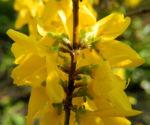 Garten Forsythie Bluete gelb Forsythia x intermedia 06
