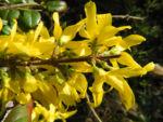 Garten Forsythie Bluete gelb Forsythia x intermedia 08