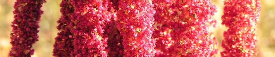 garten-fuchsschwanz-frucht-rot-amaranthus-caudatus