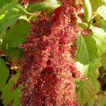 Garten Fuchsschwanz Frucht rot Amaranthus caudatus 06