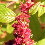 Garten Fuchsschwanz Frucht rot Amaranthus caudatus 07