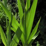 Garten Gladiole Blatt gruen Gladiolus x hortulanus 03