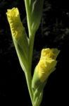 Garten Gladiole Bluete gelb Gladiolus x hortulanus 03