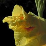Garten Gladiole Bluete gelb Gladiolus x hortulanus 09