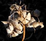 Garten Hortensie Winter Bluete braun Hydrangea macrophylla 01