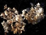 Garten Hortensie Winter Bluete braun Hydrangea macrophylla 03