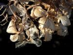 Garten Hortensie Winter Bluete braun Hydrangea macrophylla 06