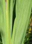 Garten Montbretie Blatt gruen Crocosmia x crocosmiiflora 03