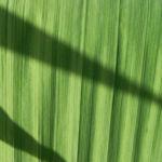 Garten Montbretie Blatt gruen Crocosmia x crocosmiiflora 06