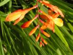 Garten Montbretie Bluete orange Crocosmia x crocosmiflora 01