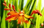 Garten Montbretie Bluete orange Crocosmia x crocosmiflora 02