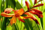 Garten Montbretie Bluete orange Crocosmia x crocosmiflora 03
