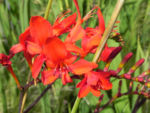 Garten Montbretie Bluete rot Crocosmia x crocosmiiflora 02