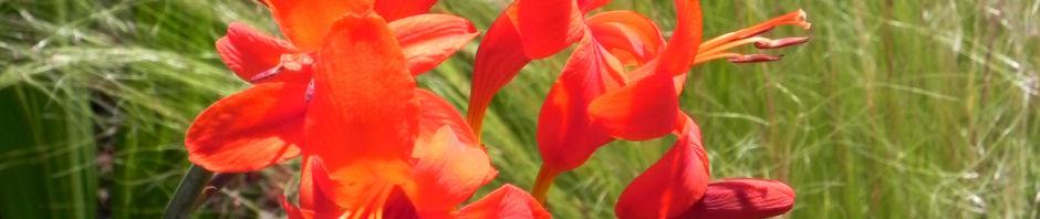garten-montbretie-bluete-rot-crocosmia-x-crocosmiiflora