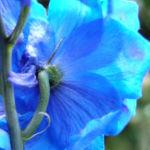 Garten Rittersporn Bluete dunkelblau weiss Consolida ambigua 08