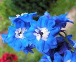 Garten Rittersporn Bluete dunkelblau weiss Consolida ambigua 10
