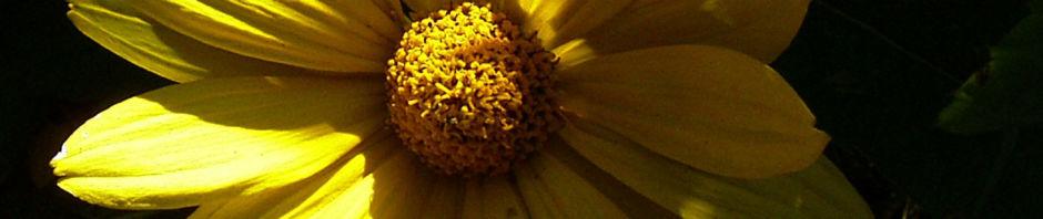 stauden-sonnenblume-bluete-gelb-helianthus-decapetalus