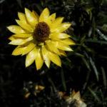 Garten Strohblume Bluete gelb Xerochrysum bracteatum 02