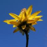 Garten Strohblume Bluete gelb Xerochrysum bracteatum 06