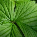 Gartenerdbeere Blatt gruen Fragaria ananassa 01