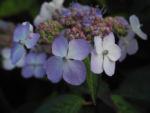 Gartenhortensie Bluete helllila Hydrangea macrophylla 01
