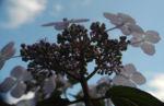Gartenhortensie Bluete helllila Hydrangea macrophylla 04