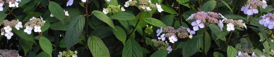 gartenhortensie-bluete-helllila-hydrangea-macrophylla