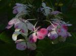 Gartenhortensie Bluete pink Hydrangea macrophylla 12