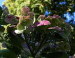 Gartenhortensie Bluete pink Hydrangea macrophylla 13