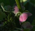 Gartenhortensie Bluete pink Hydrangea macrophylla 14