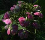 Gartenhortensie Bluete pink Hydrangea macrophylla 15