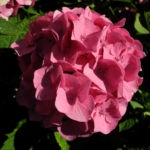 Gartenhortensie Bluete rosa Hydrangea macrophylla 09