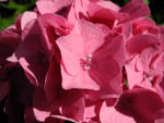 Gartenhortensie Bluete rosa Hydrangea macrophylla 10