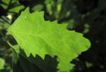 Gartenmelde Blatt gruen rot Atriplex hortensis 10