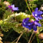 Gebraeuchliche Ochsenzunge Bluete blau Anchusa officinalis 12