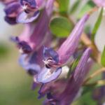 Gefingerter Lerchensporn Bluete lila Corydalis solida 04