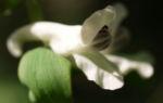 Gefingerter Lerchensporn Bluete weiss Corydalis solida 04