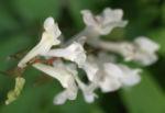 Gefingerter Lerchensporn Bluete weiss Corydalis solida 06