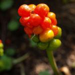 Gefleckter Aronstab Frucht rot gruen Arum maculatum 01