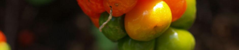 gefleckter-aronstab-frucht-rot-gruen-arum-maculatum
