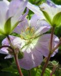 Gefleckter Storchschnabel Bluete hellblau Geranium maculatum 05