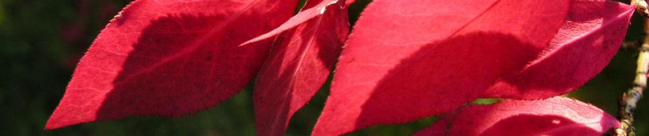 fluegel-spindelstrauch-herbstblatt-rot-euonymus-alatus