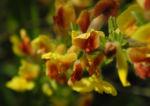 Geissklee Bluete gelb orange Cytisus leiocarpus 09